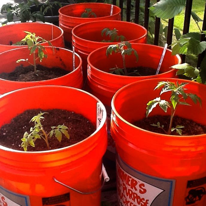 Sustainable Urban Gardeningwith Buckets Farmhouse Fruit