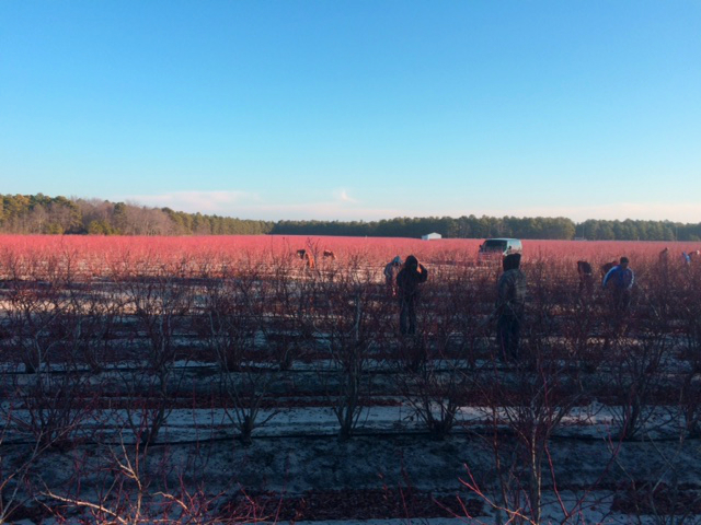 Blueberry field in Tabernacle, NJ
