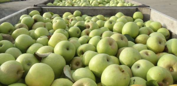 Granny Smith Apples 4